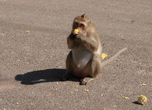 Consommation du singe Photo stock