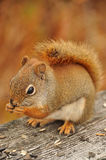 Consommation du squirel rouge Photographie stock