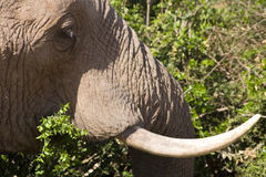 Consommation femelle d'éléphant africain Photos libres de droits