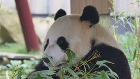 Consommation géante d'ours panda banque de vidéos