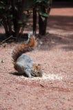 Consommation II d'écureuil Images libres de droits