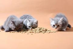 Consommation mignonne de chatons Image stock