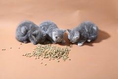 Consommation mignonne de chatons Photographie stock