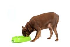 Consommation russe de poids excessif de chien de jouet images stock