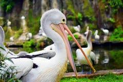 Conspicilatus del Pelecanus dell'uccello del pellicano dell'uccello acquatico Immagine Stock