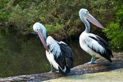 Conspicillatus australiano do Pelecanus dos pelicanos Foto de Stock Royalty Free