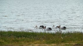 Conspicillatus australiano do Pelecanus do pelicano que procura o alimento no lago Colac no por do sol filme