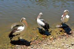 Conspicillatus Pelecanus τριών αυστραλιανό πελεκάνων Στοκ φωτογραφίες με δικαίωμα ελεύθερης χρήσης