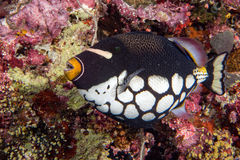 Conspicillum clown trigger fish in maldives Royalty Free Stock Image
