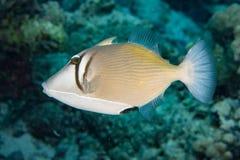 Conspicillum clown trigger fish in maldives Royalty Free Stock Photo