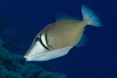 Conspicillum clown trigger fish in maldives Royalty Free Stock Photography