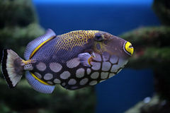 Conspilum van FishBalistoides Royalty-vrije Stock Foto