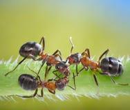Conspiración de tres hormigas en hierba Fotografía de archivo