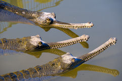 Conspiracy crocodiles Stock Photography