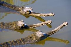 Conspiracy crocodiles Stock Photography