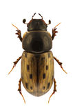 conspurcatus aphodius Στοκ Εικόνες