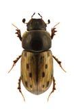 Conspurcatus di Aphodius fotografia stock
