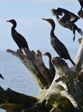 The Hang Out. A constant hangout roost for a group of Cormorants Shags. Drying their wings in the warm sunshine is a favorite fad in the Florida Key`s at Long stock photo