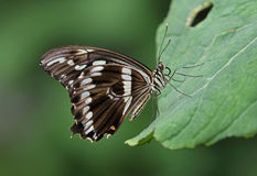 Constantines Swallowtail royalty-vrije stock foto
