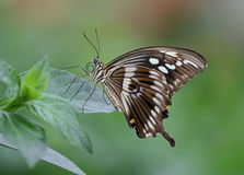 Constantines Swallowtail stock foto