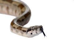 Constricteur de boa de serpent photo libre de droits