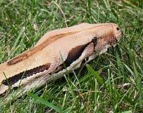 Constricteur de boa sur l'herbe Photos libres de droits