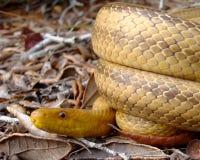 Constricting arrotolato serpente giallo sulla terra Fotografia Stock