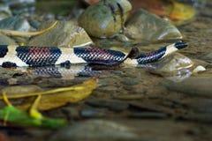 Constrictor горжетки - вызвал красно-замкнутую горжетку или общая горжетка, вид большой, не-ядовитой, тяжел-уплотненной змейки стоковое изображение rf