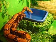 constrictor горжетки Стоковые Фото