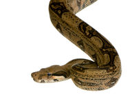 constrictor горжетки Стоковое Изображение