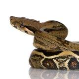 constrictor горжетки Стоковая Фотография RF