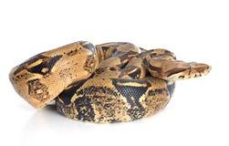 Constrictor горжетки Стоковая Фотография