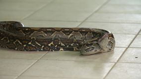 Constrictor de boa | Cuerpo colorido, Costa Rica almacen de video