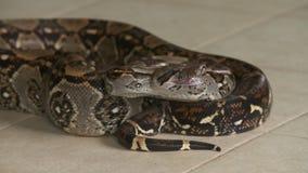 Constrictor de boa defensivo, Costa Rica Zoo metrajes