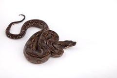 Constrictor de boa del desierto de Sonoran del bebé Imagen de archivo