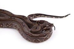 Constrictor de boa do deserto de Sonoran do bebê Foto de Stock Royalty Free