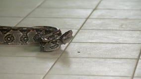 Constrictor de boa enojado Python en el piso, Costa Rica almacen de metraje de vídeo