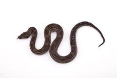 Constrictor van de Boa van de Woestijn van Sonoran van de baby stock fotografie