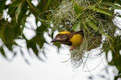 Baya weaver constructing nest at tree. Constructing nest, at home, nest, done with grass, grass, grass house, own house, nature house, baya weaver, bird, nature royalty free stock photo