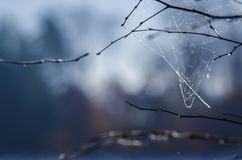 SPIDER WEB. Construction on the branches of a tree Royalty Free Stock Photo