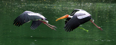 Construction. I have taken this shot when painted stork was making its nest he was flying with his partner collecting stems and leaves for nesting Stock Photography