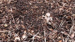 The construction of new big ant hill in the woods. A lot of ants close-up. stock footage