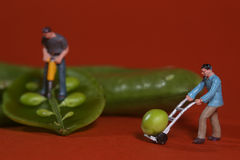 Construction Workers in Conceptual Food Imagery With Snap Peas Stock Photography