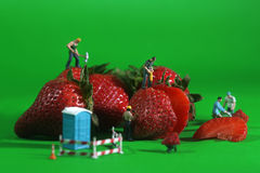 Construction Workers in Conceptual Food Imagery With Strawberrie. Miniature Construction Workers in Conceptual Food Imagery With Strawberries Stock Photography