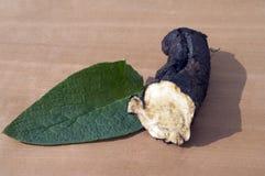 Consuelda; Común; medicinal, raíces Fotografía de archivo libre de regalías