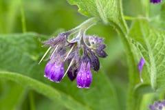 Consuelda común salvaje o flor verdadera de la consuelda Fotografía de archivo libre de regalías