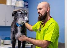 Consulta veterinaria, veterinario que examina un galgo fotos de archivo