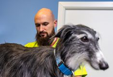 Consultation vétérinaire, vétérinaire inspectant un lévrier photographie stock