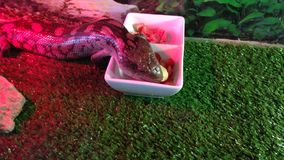 Consumición adulta del lagarto de la lengua azul Imagenes de archivo