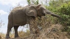 Consumición ampliada solo Bull tronco del elefante de Sideview Foto de archivo